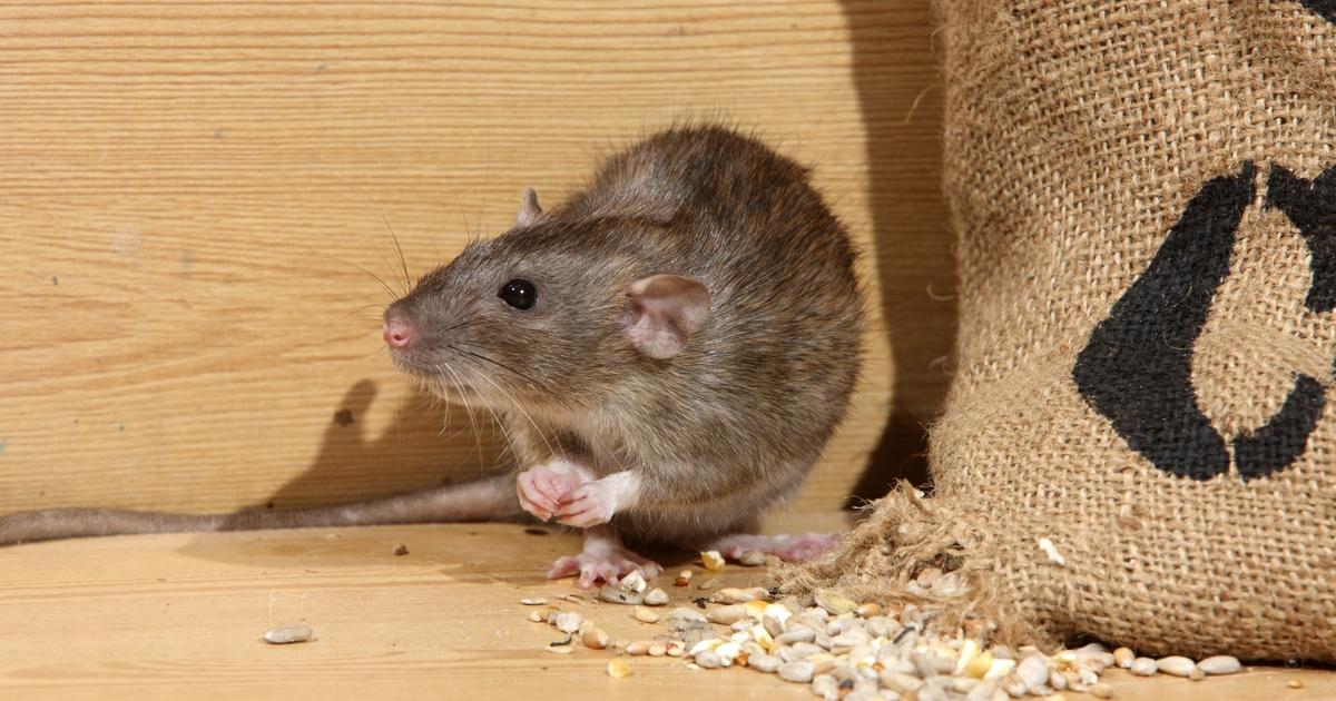 Как бороться с мышами в частном доме: народные средства, химические препараты