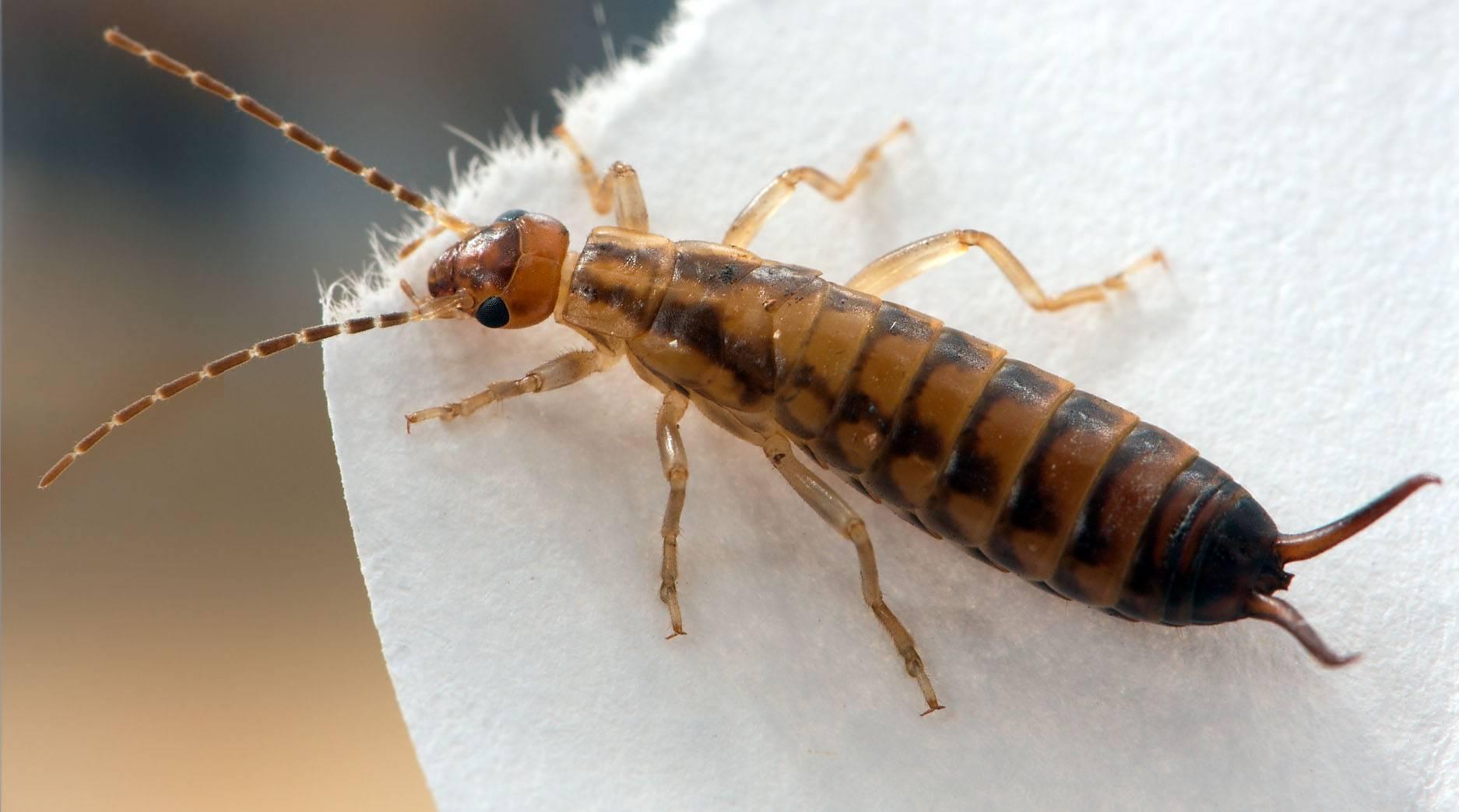 Двухвостки - фото и описание насекомого, опасны ли для человека