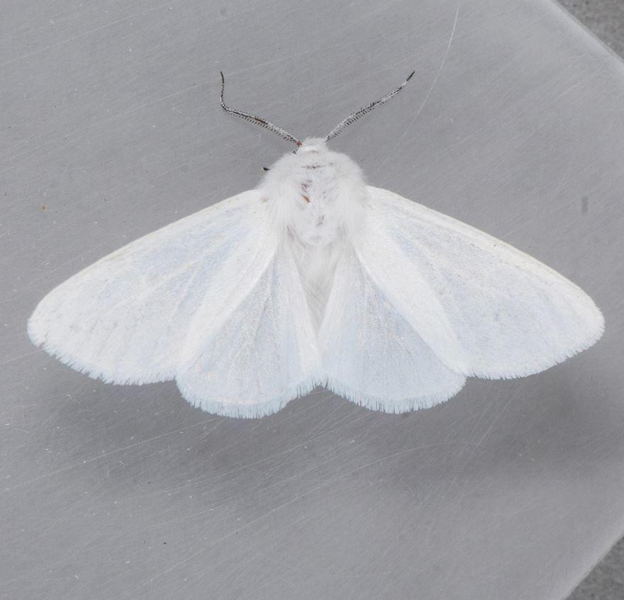 Американская бабочка вредитель деревьев - дневник садовода semena-zdes.ru