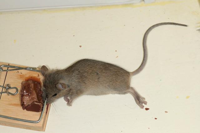 Мышь – описание и внешние характеристики домашних и диких особей