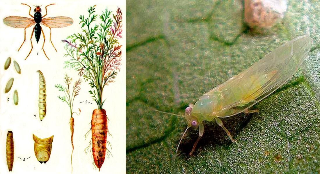 Белянки: знакомство с бабочками и способами борьбы с ним