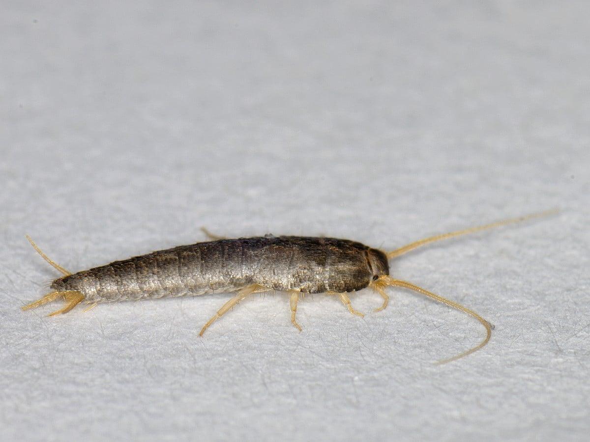 Завелись маленькие странные длинные белые насекомые в ванной и туалете, быстро бегают
