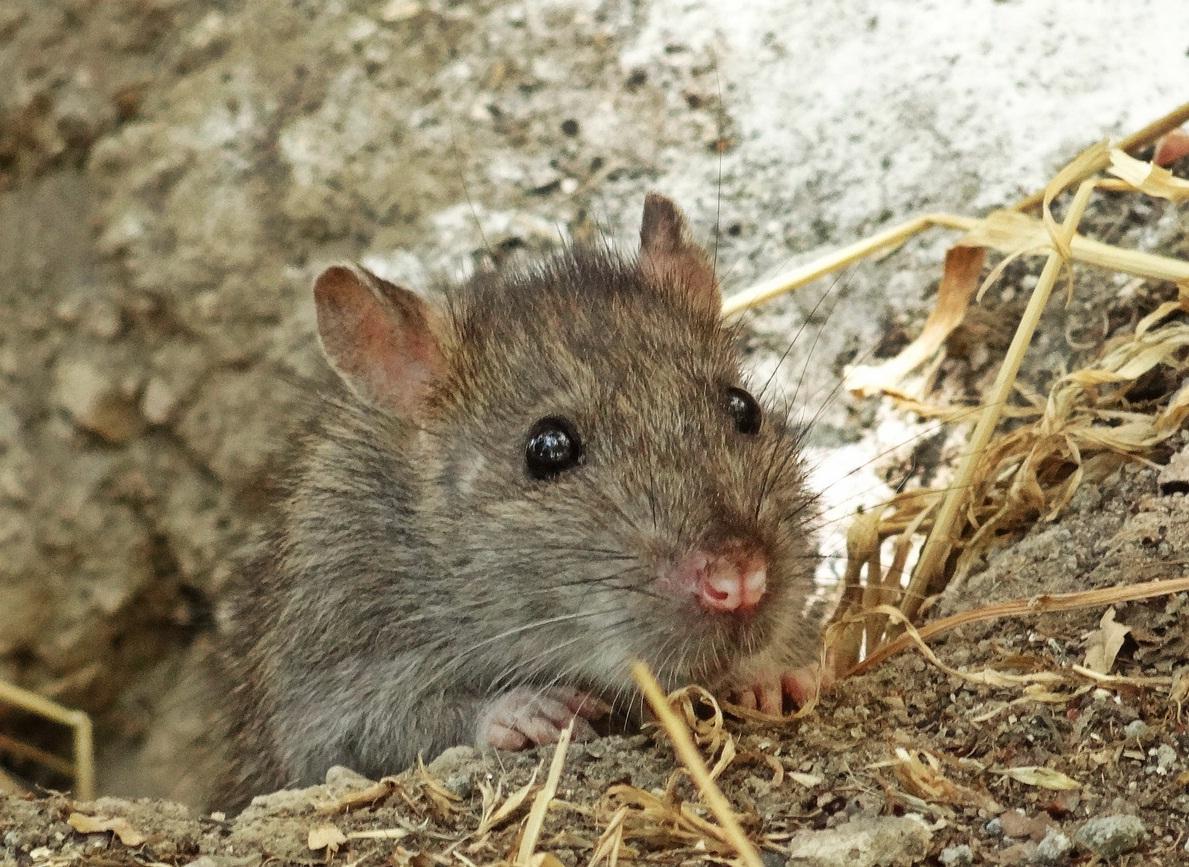 Как навсегда избавиться от крыс в частном доме, сарае и квартире, используя народные средства
