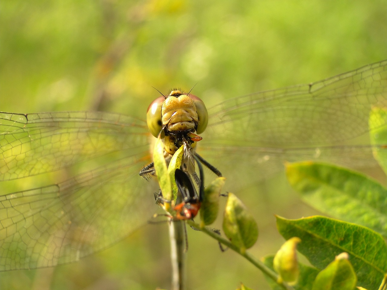 Чем питаются стрекозы – описание, особенности и интересные факты