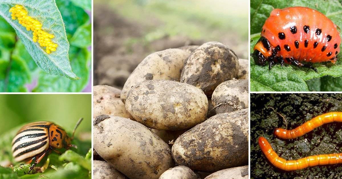 Вредители картошки: описание и борьба с ними
