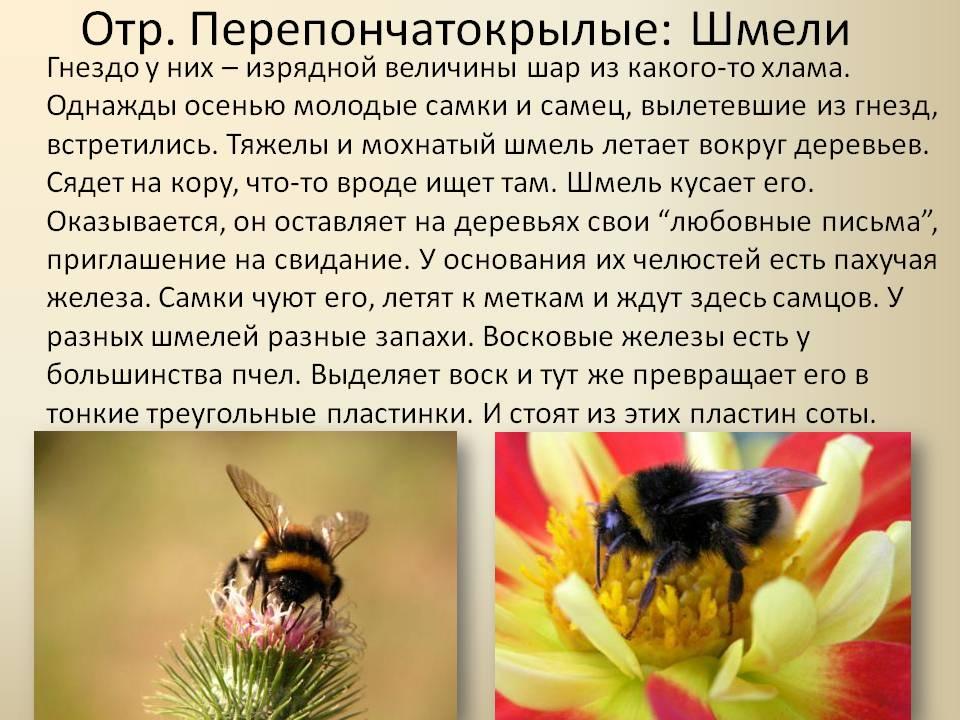 Садовый шмель | мир животных и растений