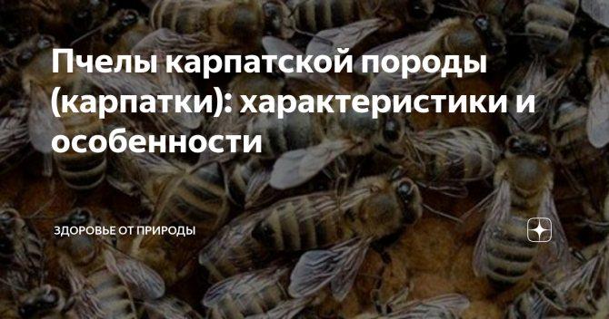 Карпатская пчела - особенности и характеристики породы