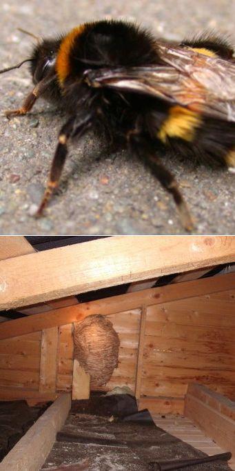 Как вывести шмелей из дома