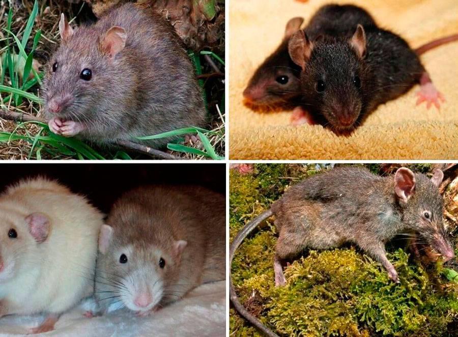Виды и разновидности крыс – как выглядят и называются