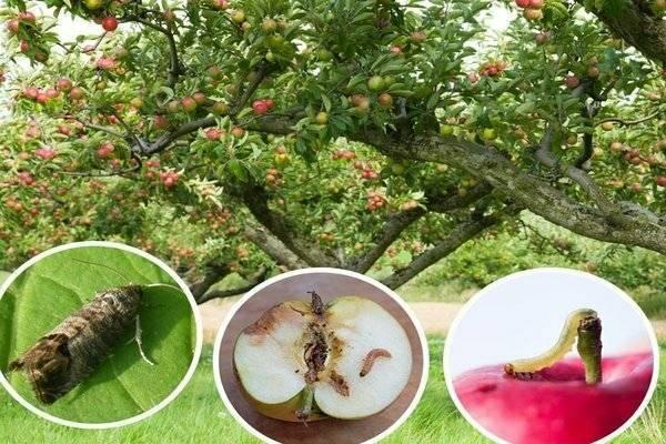 Яблонная плодожорка - борьба и профилактика