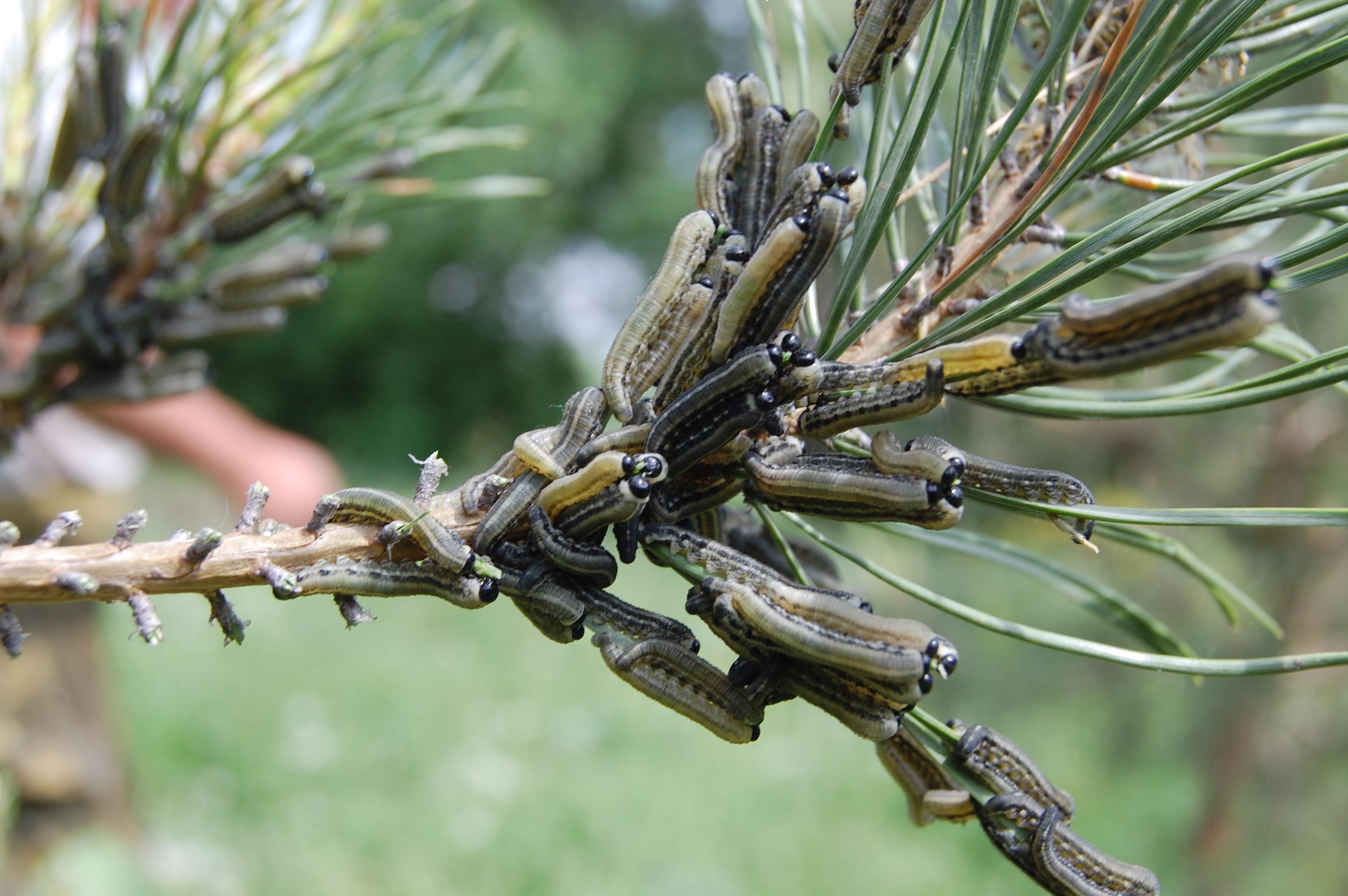 Болезни хвойных деревьев, их лечение препаратами, борьба с вредителями, обработка весной, средства защиты