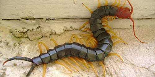 Откуда появляются сороконожки. насекомое сороконожка – опасно ли соседство человека и обыкновенной мухоловки