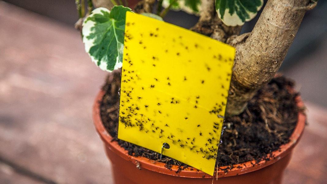 Мошки в комнатных цветах: как бороться и избавиться народными средствами и препаратами от мушек в цветочных горшках
