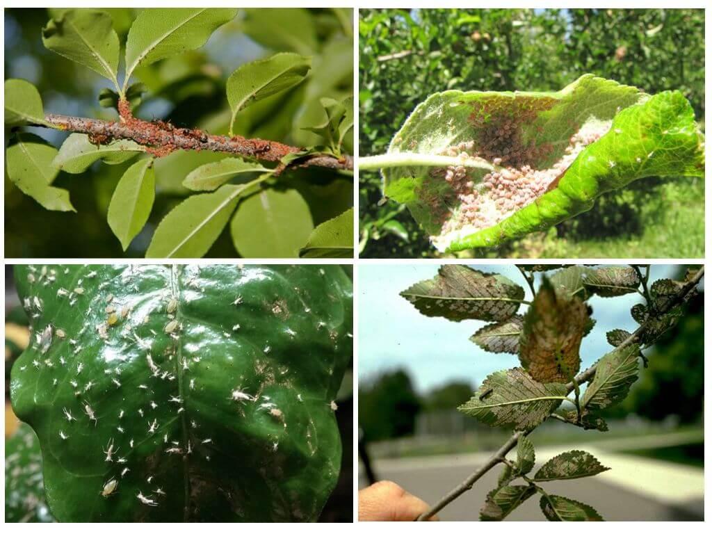 Борьба с тлей на плодовых деревьях: действенные средства