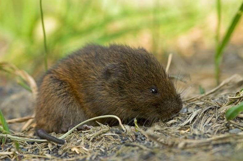 Мышка полевка — описание, как выглядит, чем питается, сколько живет полевая мышь