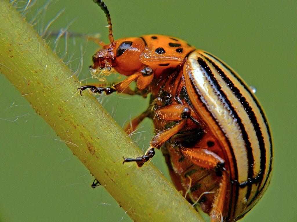 Все самое важное о личинках колорадского жука русский фермер