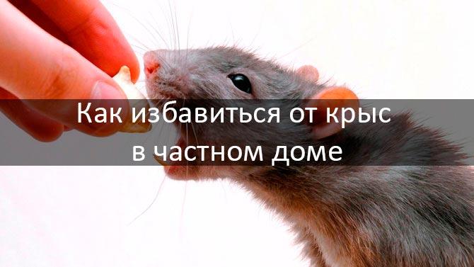 Народные средства от крыс: чем отравить и как бороться