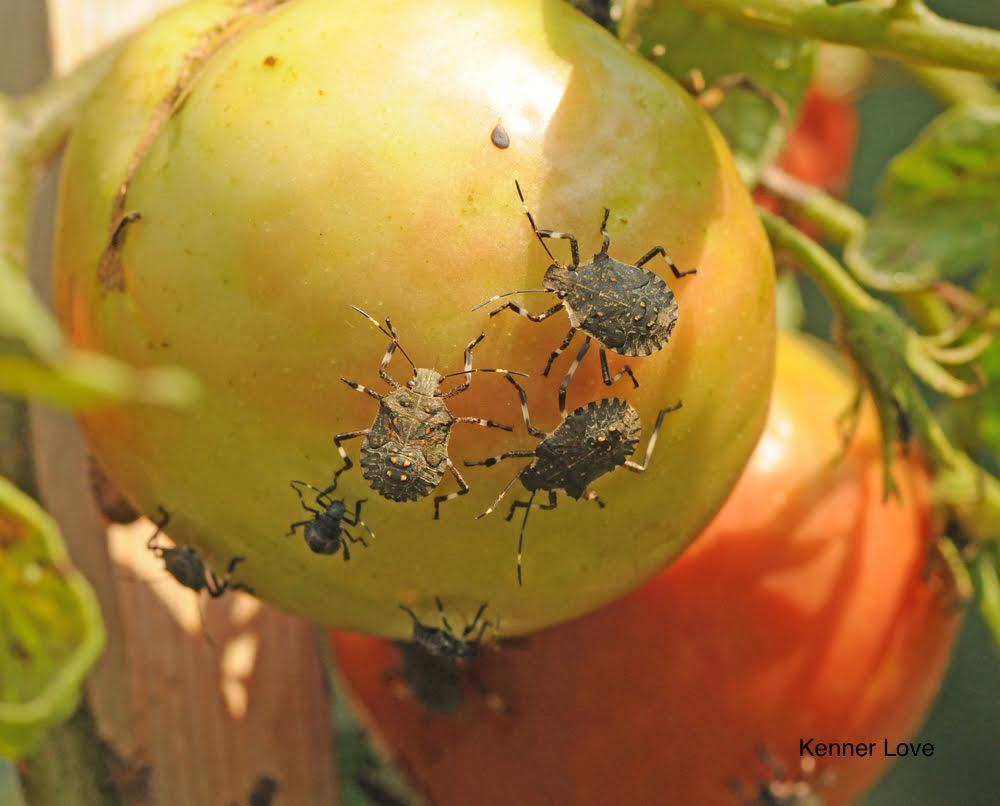 Клопы на помидорах как бороться: описание и виды, способы борьбы