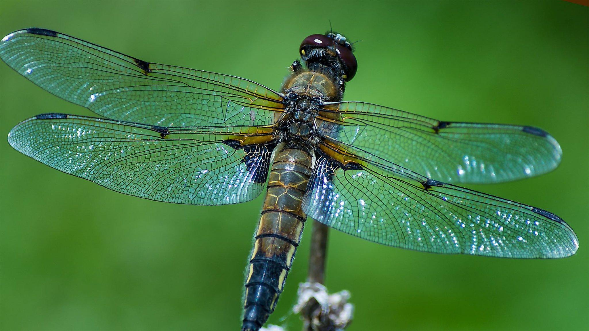 Самая крупная стрекоза | мир животных и растений