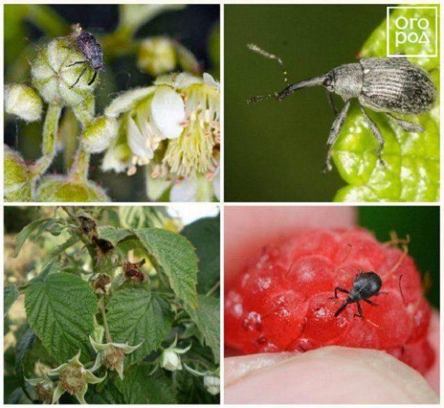 Садовые вредители: малинная муха. вредоносность и методы борьбы