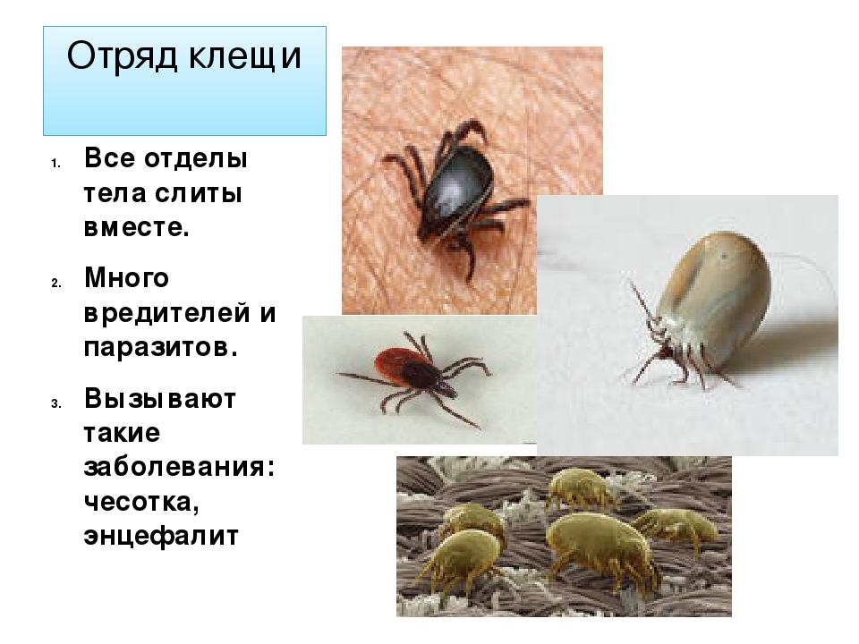Клещи – фото, описание, разновидности, как выглядят, научная классификация вида, строение и образ жизни