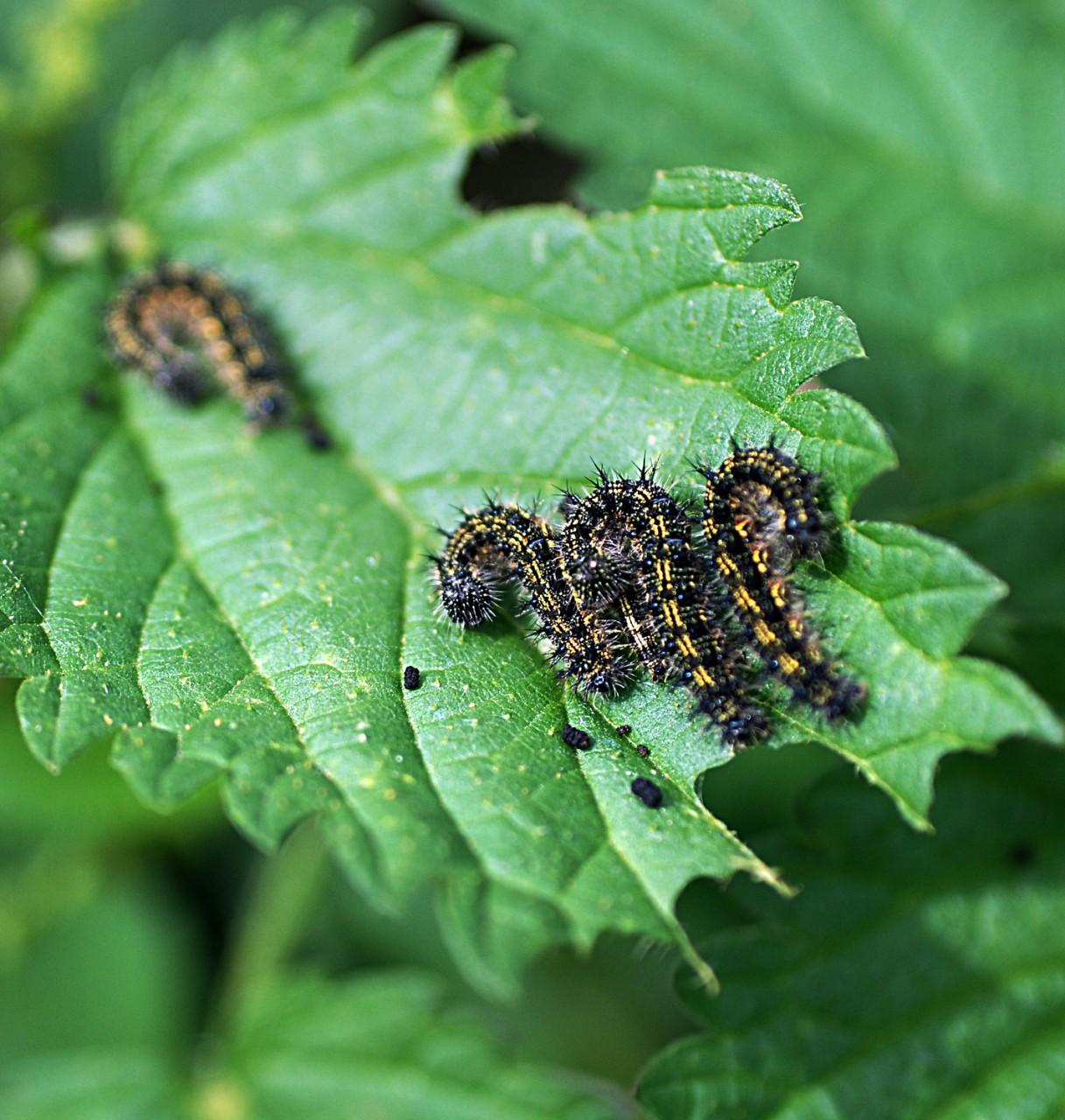 Интересные факты о бабочке крапивнице   vivareit