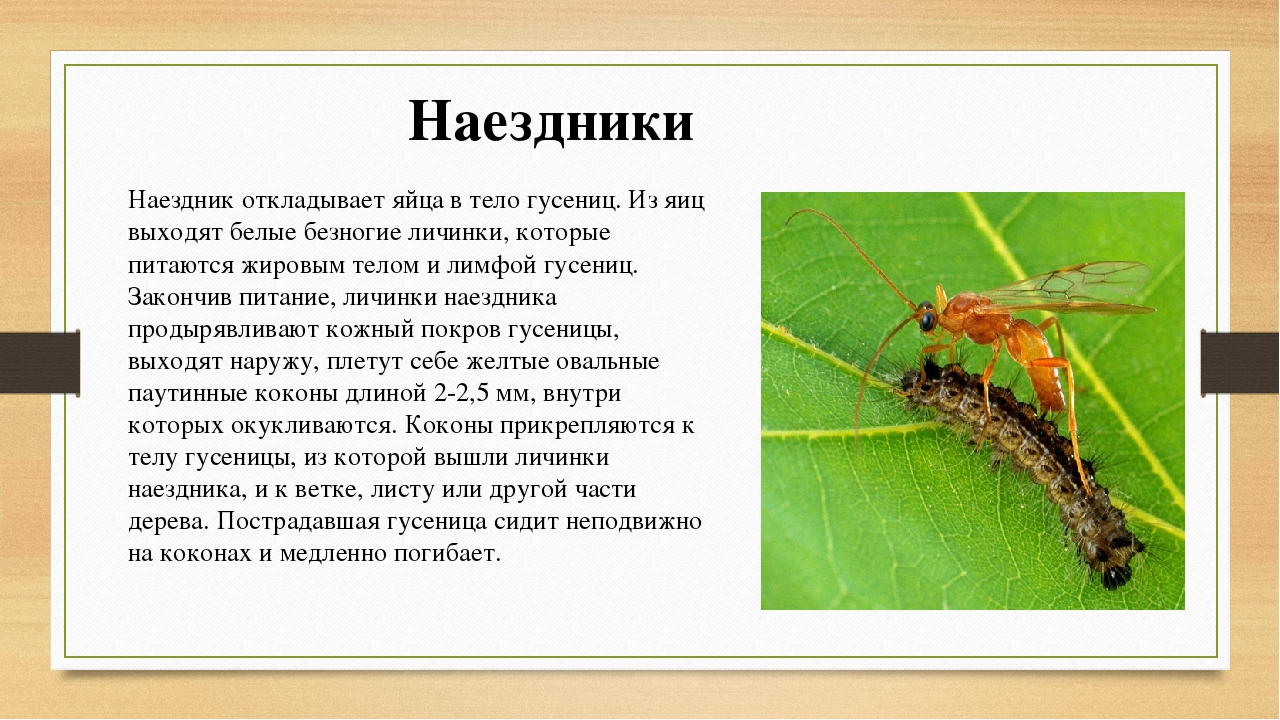 Оса-наездник: размножение, характерные черты и опасна ли для человека