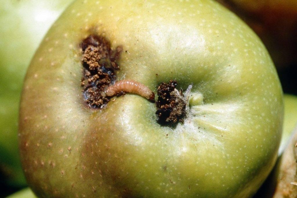 Плодожорка на яблоне. методы борьбы