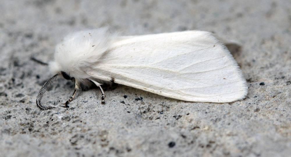 Чем опасна американская белая бабочка и как уберечь от нее свой участок