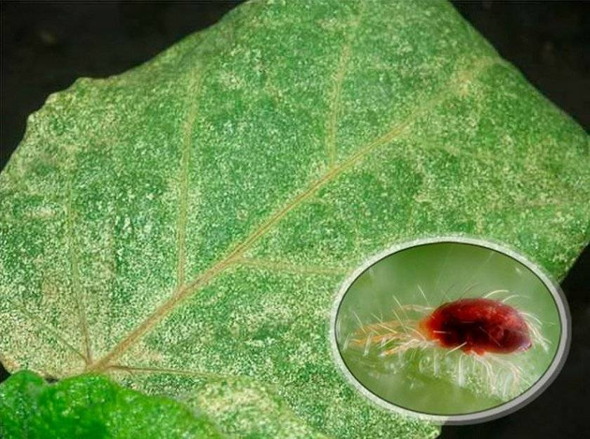 На орхидее появился клещ (31 фото): как бороться с вредителями в домашних условиях? описание паутинных и панцирных, белых и красных  клещей