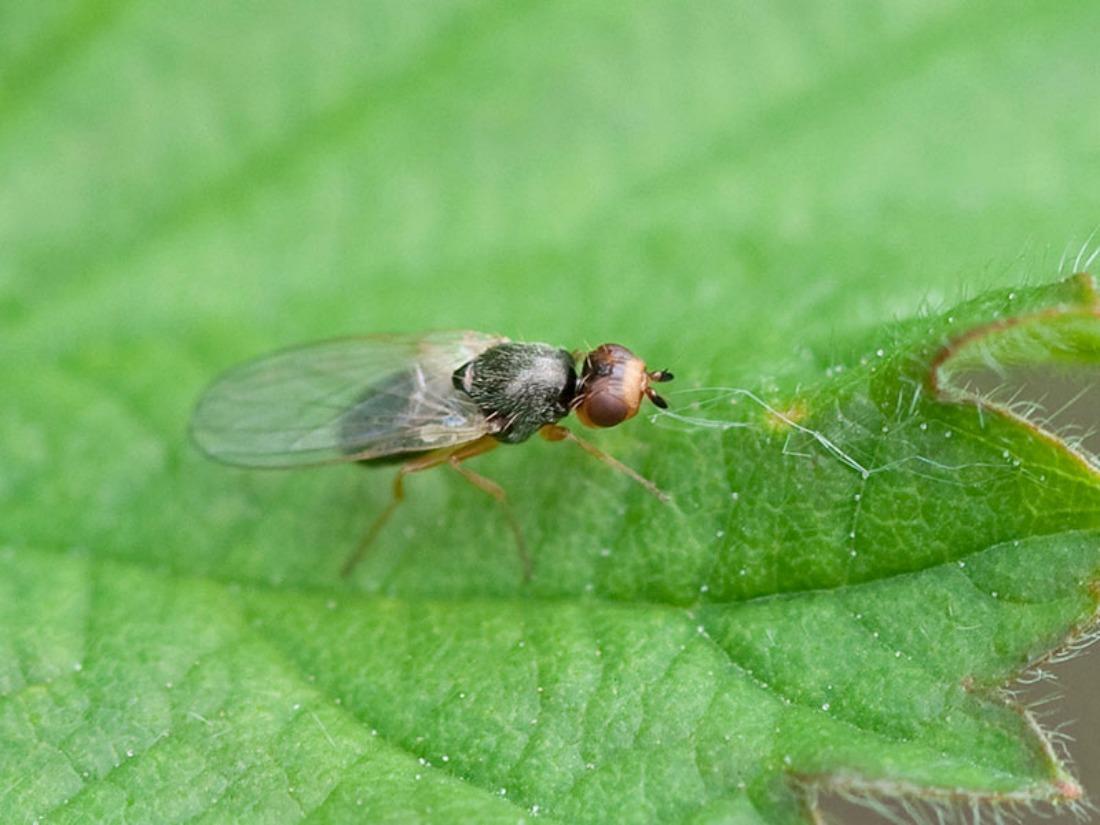 Морковная муха: фото, как с ней бороться, народные средства, препараты, профилактика