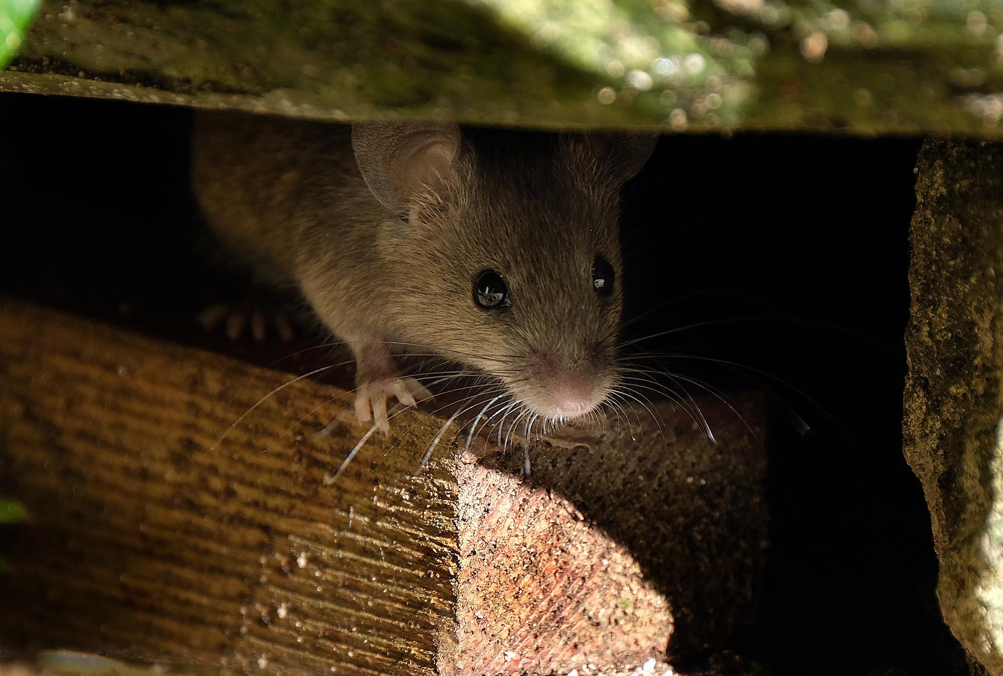 Домашняя мышь – описание, виды, где обитает, чем питается,