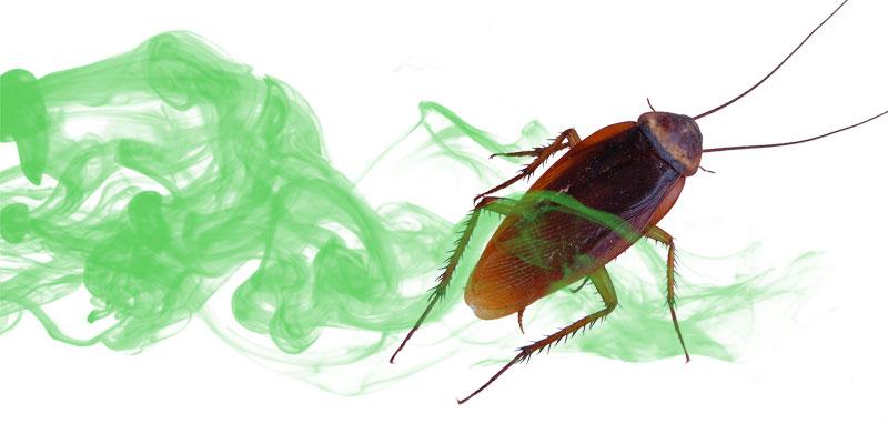 Лавровый лист от тараканов: панацея или нет