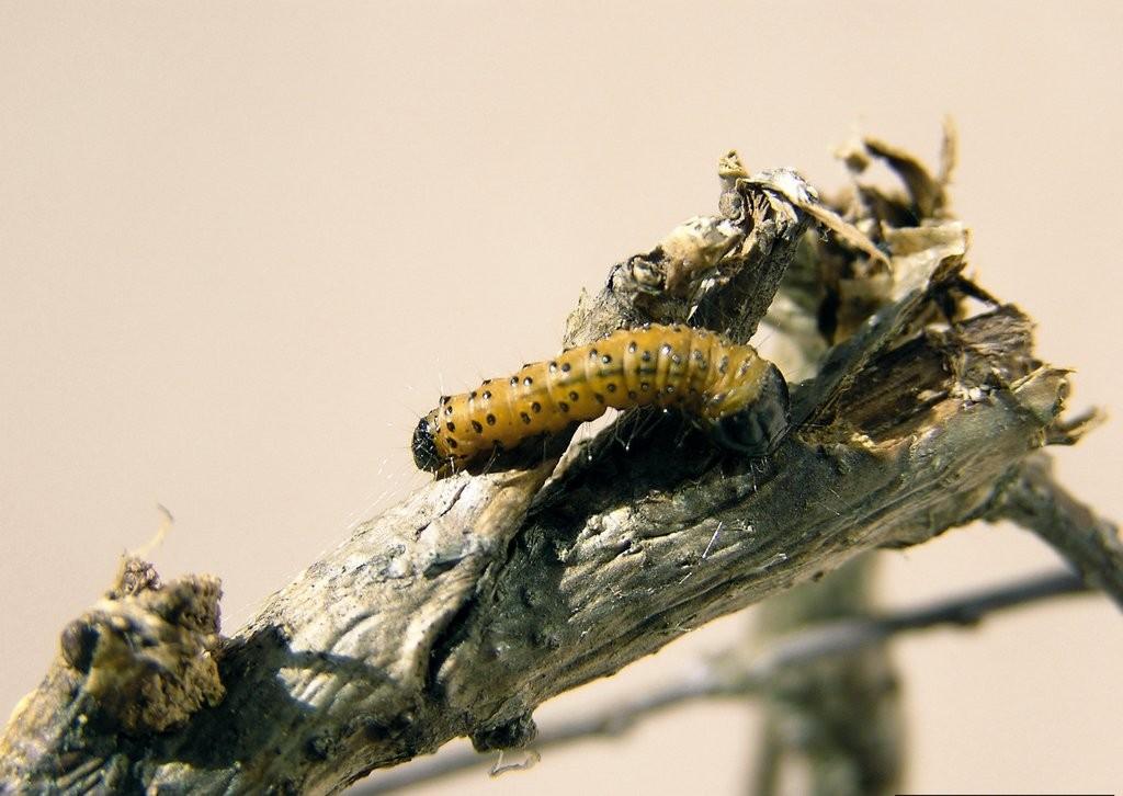 Древесница въедливая фото, описание, меры борьбы