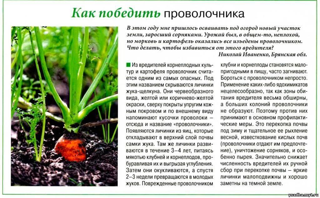 Чем обработать землю от проволочника: самые эффективные препараты для открытого грунта и теплицы