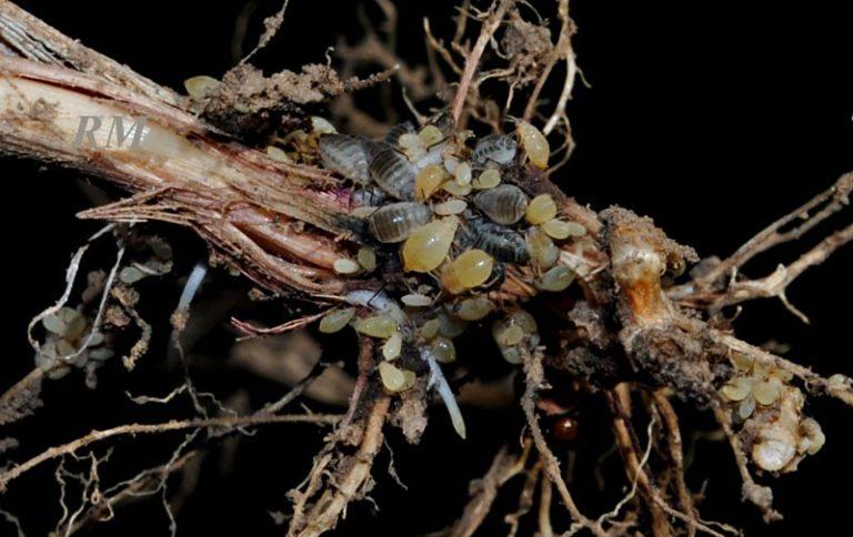 Тля на комнатных растениях: как бороться в домашних условиях и успешно избавиться от нее, чем обработать цветы, чтобы ее уничтожить, а также фото, как она выглядит selo.guru — интернет портал о сельском хозяйстве