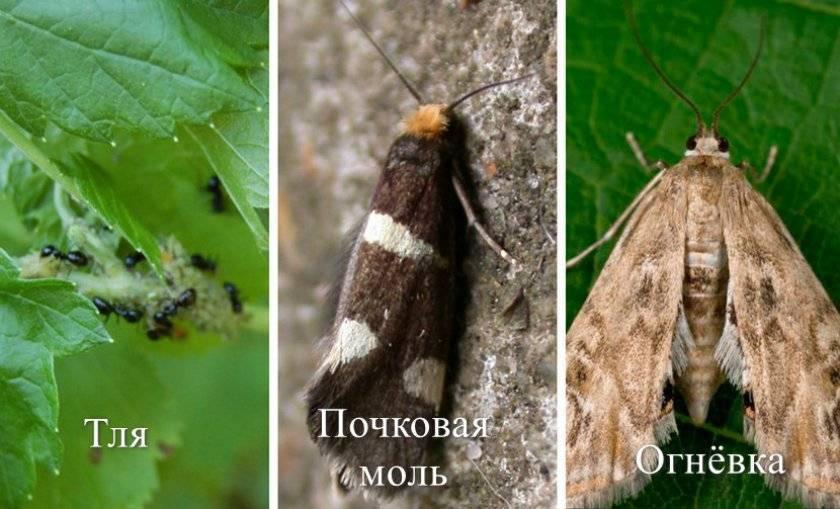 Огневка трескучая: фото, описание вида и интересные факты про насекомого
