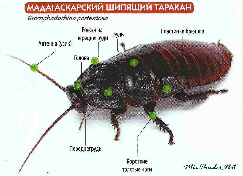 Доклад-сообщение о тараканах (строение, органы чувств) 7 класс