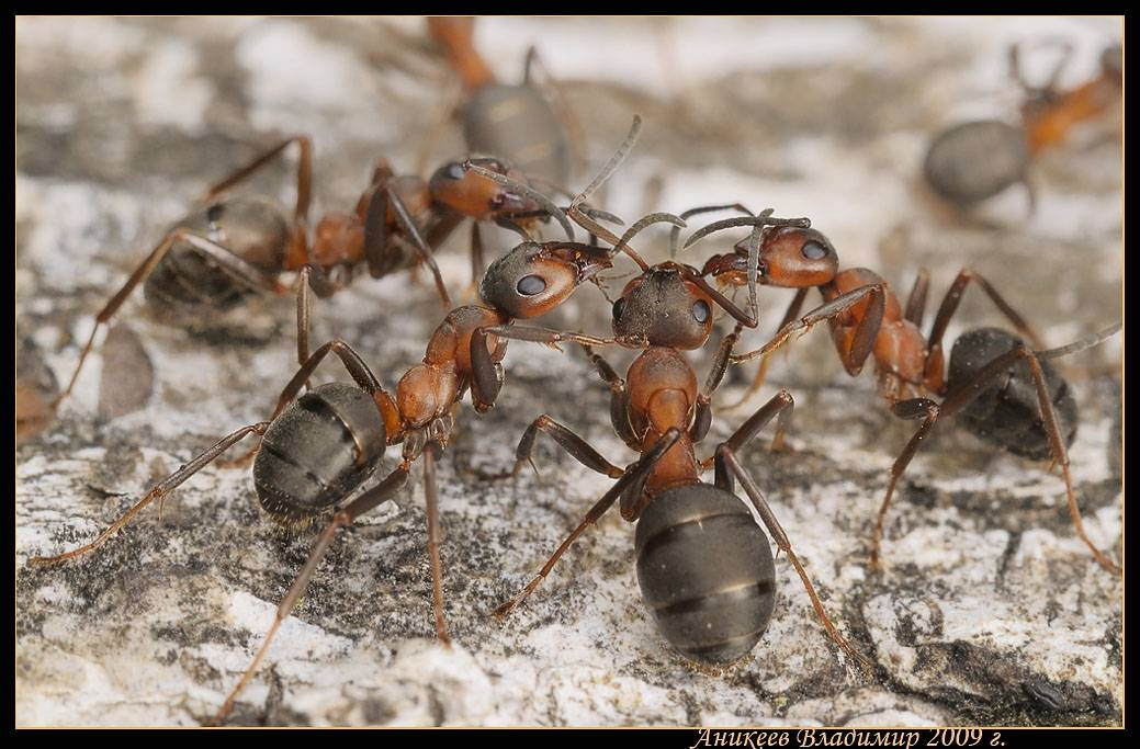 Описание и образ жизни рыжих лесных муравьев