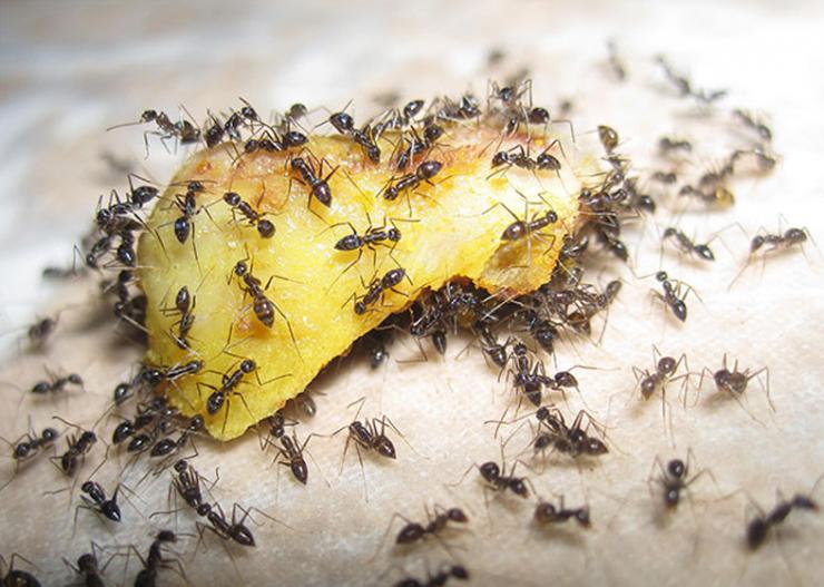 Способы избавиться от муравьев раз и навсегда