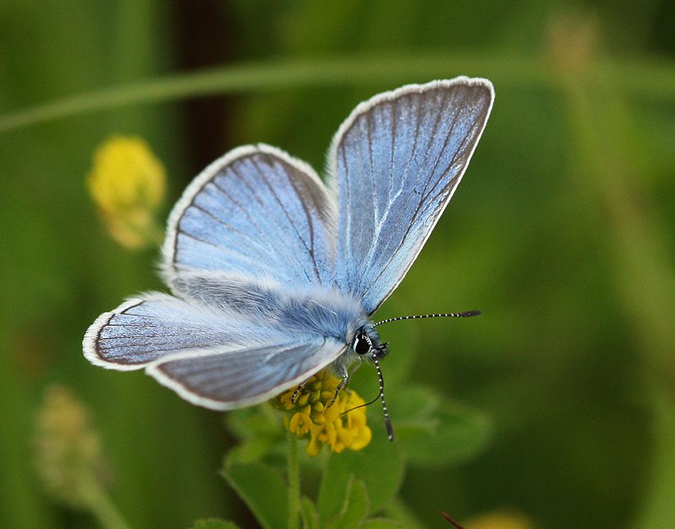 Описание бабочки голубянка аргус, фотографии и видео
