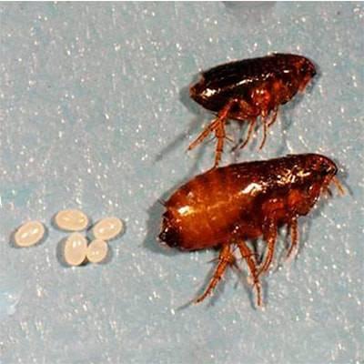 Как размножаются блохи, сколько живет паразит, как выглядят личинки, цикл развития и прочее + фото