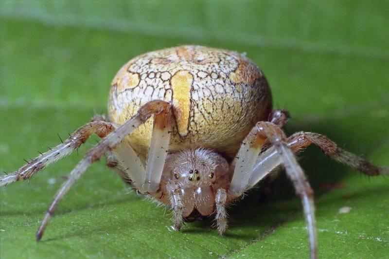 Класс паукообразные – паук-крестовик