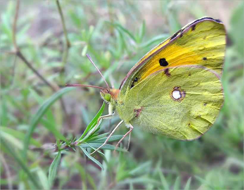 Бабочка желтушка - описание, среда обитания, виды
