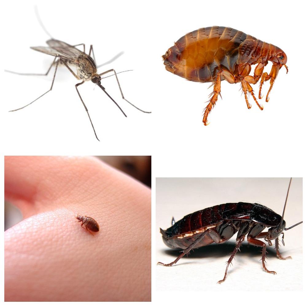 Опасные заболевания: от тараканов к человеку