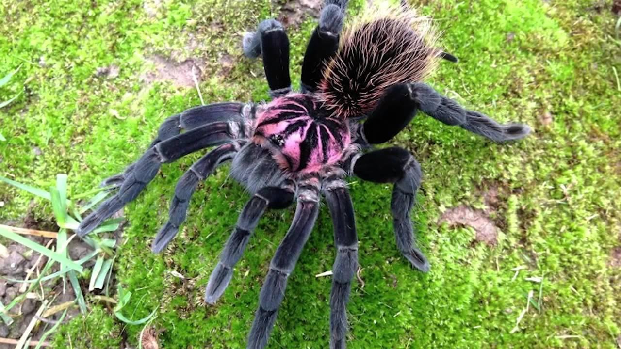 Самый большой паук в мире, фото, видео