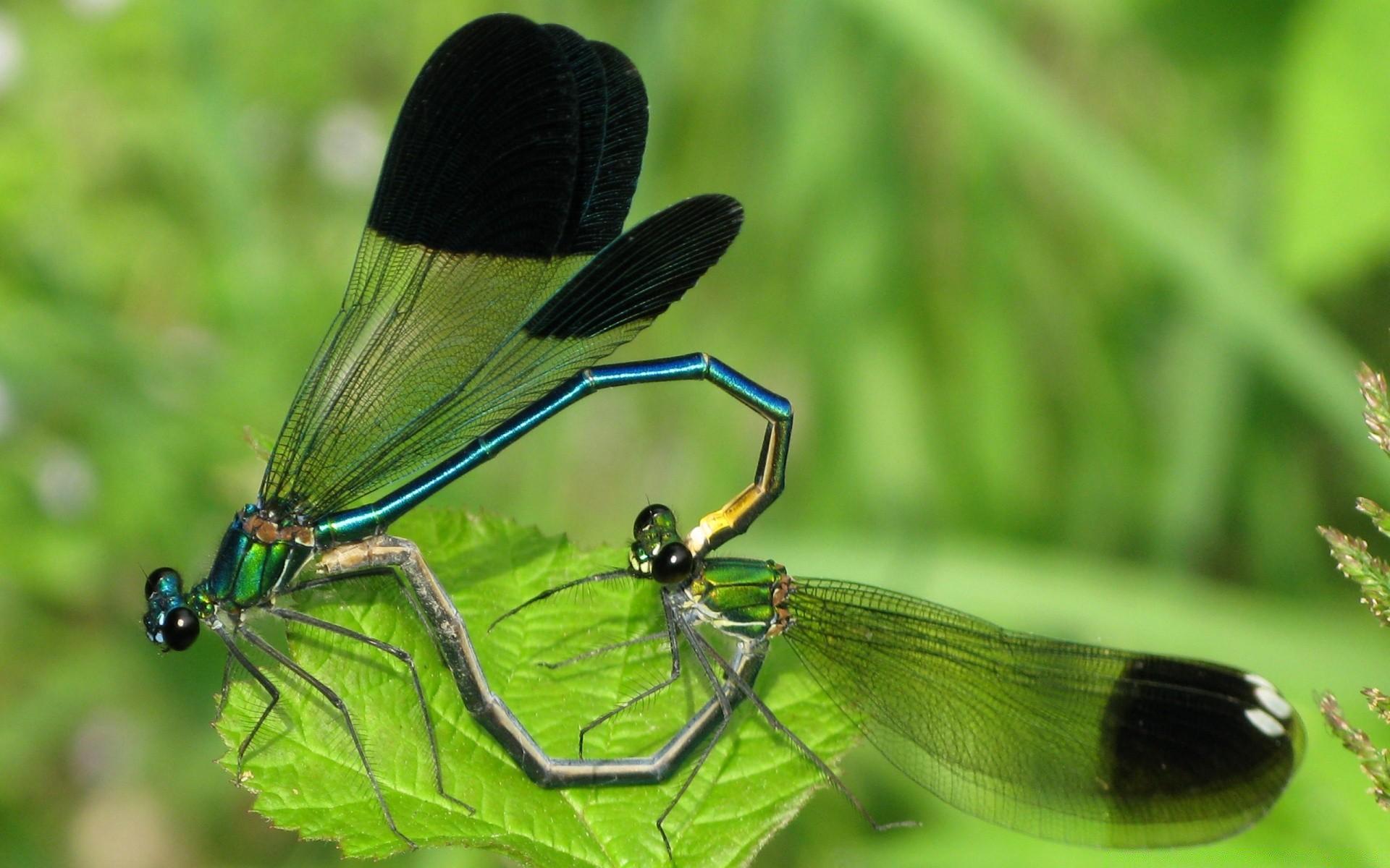 Черная стрекоза – маленькая загадка природы