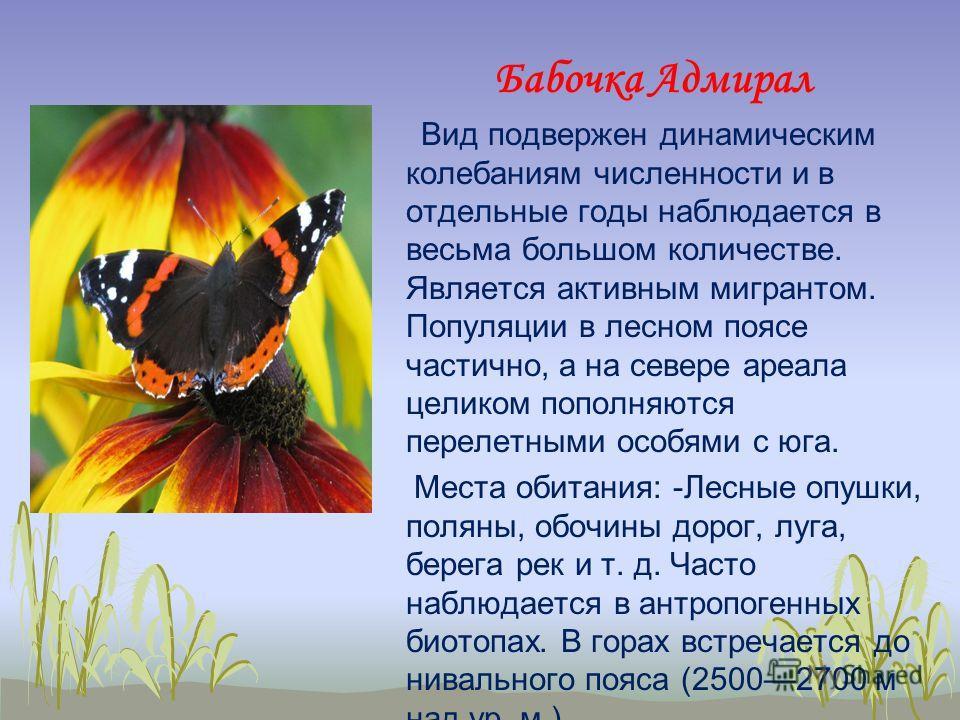 Бабочка адмирал — интересные факты о насекомом