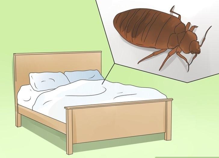 Как вывести постельных блох в диване, постели, белье? Как они выглядят?