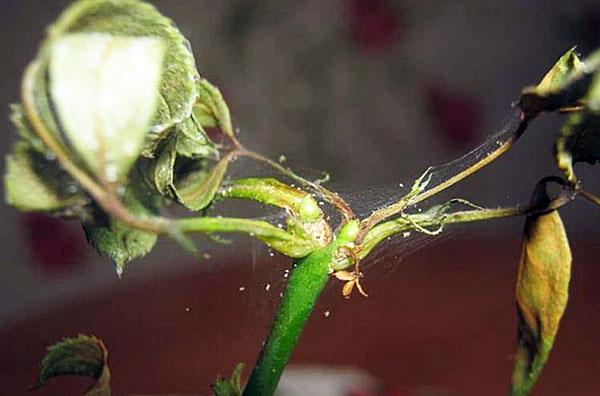 Паутинный клещ на розе: чем опасен и как от него избавиться